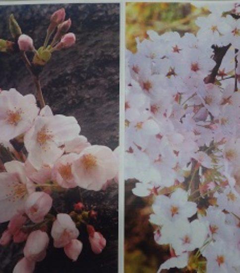 桜を描こう